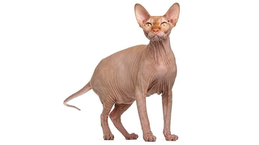 القط الفرعوني من أنواع القطط النادرة جدا أنواع القطط كل سلالات القطط